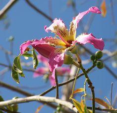 """Flor da Ceiba speciosa, a """"árvore do fio de seda"""" ou paineira, fotografada na praia de La Colonia, em Águilas, Comunidade Autônoma de Múrcia, Espanha.  Fotografia: Philmarin."""