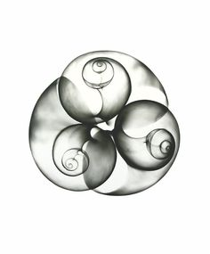 Xray of shells, could be a pencil or charcoal,drawing