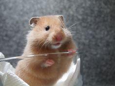 生後36日目。イエローブラック女の子♀ syrian hamster yellowblack longhaird (36days)