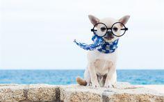 Lataa kuva chihuahua, pieni koira, söpöjä eläimiä, lemmikit, koirat