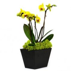 Long-lasting Phalaenopsis Orchid plant potted in a zen like container with river roots hugging the plants.
