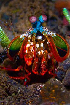Colorful Mantis Shrimp by Soren Egeberg on Flickr.