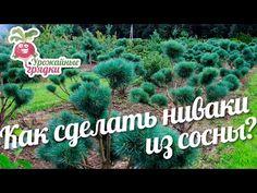 Как сделать ниваки из сосны? Формирование хвойных #urozhainye_gryadki - YouTube