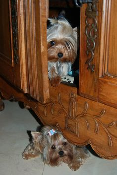 Yorkie...these aren't tiny but they are so cute.