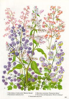 Vintage Print FLOWERS Thalictrum by VintageInclination on Etsy