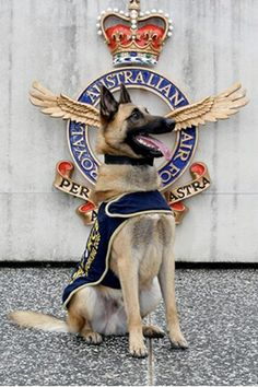 King, whose life as a stray has turned around in a big way. This once homeless dog is now on the road to becoming to a Royal Australian Air Force military working dog.