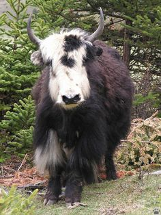 Yak (Domesticated)