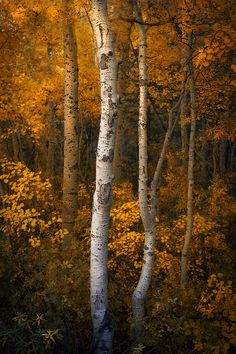 A grove of warm golden honey Aspen is nestled in a quiet little area along the eastern Sierra.