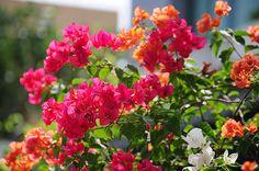 bougainvillea flower - Buscar con Google