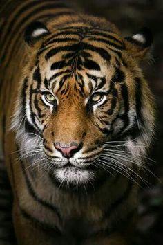 Tiger Portrait by Gemma Ortlipp on Melbourne zoo Nature Animals, Animals And Pets, Cute Animals, Wild Animals, Baby Animals, Tiger Fotografie, Beautiful Cats, Animals Beautiful, Beautiful Pictures