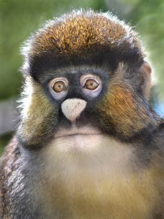 A Schmidt's Spot-nosed Guenon at the San Diego Zoo. Guenons are medium-sized African monkeys with long tails and large cheek pouches.