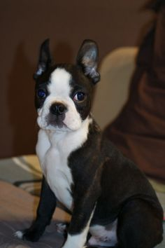 Burton - Chien - Boston Terrier - Yummypets