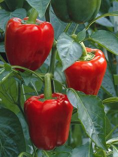 Pimientos rojos | Red pepper, raw --- 162  mg / 100 g Kinds Of Vegetables, Planting Vegetables, Veggies, Vegetable Gardening, Tomato Cultivation, Caribbean Chicken, Jamaica Food, Capsicum Annuum, Beautiful Fruits