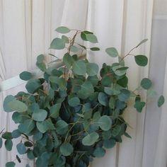 Silver Dollar Eucalyptus - WholesaleFlowersAndSupplies.com