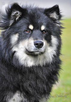 AYRON OD KŘEMÍLKA - Suomenlapinkoira / Finnish Lapphund