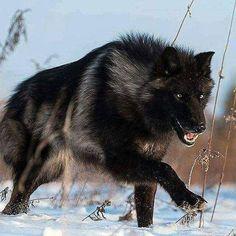 My Pack of Wolves (@MyPackofWolves) | Twitter