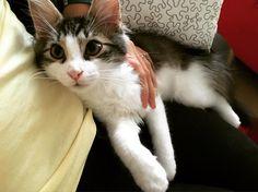 #puppyeyes #bhumi #mycat #catsofinstagram #catlover #catsagram #catstagram #cats #sweet #cute #littlefurball #inlove