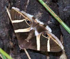Grammodes oculicola, moth-the moth Grammodes oculicola