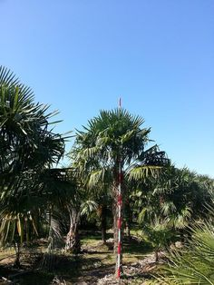Windmill 15 FT OA  buy cold hardy palm trees windmill palm tree feild grown New York Palm Trees at RealPalmTrees.com  Wholesale Cold Hardy Palms