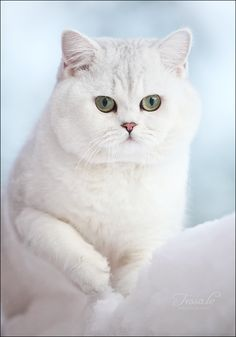 British shorthair cat by http://tessochka.livejournal.com/372716.html#cutid1