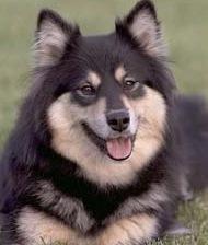 cão finlandês da lapônia