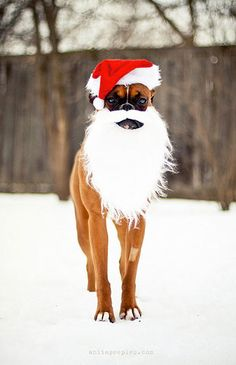 Christmas Dog Fashion Humor: This cracks me up!  Ho, Ho, Ho!