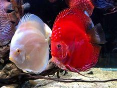 """Parede de Vidro Aquarismo on Instagram: """"Por aqui é paz e amor! ✌️ - Acará disco . . #acaradisco #acara #discusfish #discusfishtank #pecesdisco #aquarismo #aquarismobrasil #aquario…"""""""