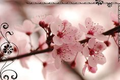 cherry blossom time...I miss it!
