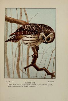 vintage barred owl illustration via Biodiversity Library