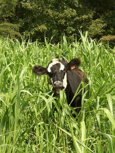 Beef Cow In Sudan Grass Photo:  This Photo was uploaded by westwindfarms. Find other Beef Cow In Sudan Grass pictures and photos or upload your own with ...