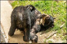 Tiergarten Schönbrunn - Brillenbär - Wien-Spezial #Wien #Vienna #wonderlustvienna #vienna_austria #ViennaNow #Österreich #Austria #ig_austria #feelaustria #visitaustria #zoovienna #zoo #Tiergarten #schönbrunn #biancabuergerphotography #shootcamp #pickmotion #Reise #travel #animal #Tier #Brillenbär #spectacledbear #canon #EOS5DMarkIII #5Diii