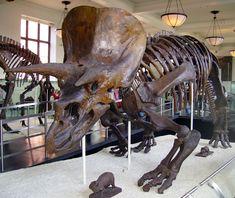 Esqueleto de Triceratops horridus, American Museum of Natural History Prehistoric Dinosaurs, Prehistoric World, Dinosaur Fossils, Prehistoric Creatures, Real Dinosaur, Dinosaur Skeleton, Dinosaur Bones, Amber Fossils, Jurassic Park World