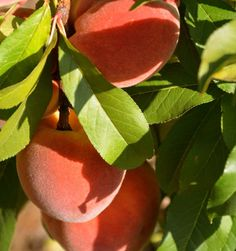 Gorgeous peaches!