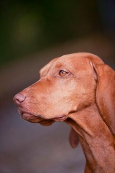 Your dog has a very sweet face :) Most Beautiful Dog Breeds, Beautiful Dogs, Wirehaired Vizsla, Hungarian Vizsla, Weimaraner, Mans Best Friend, Pointers, Dog Love, Best Dogs