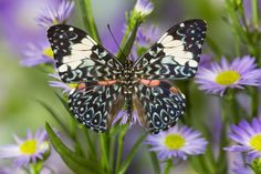 The Starry Night Butterfly on asters