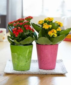 A korallvirág (Kalanchoe blossfeldiana) gondozása Potted Plants, Indoor Plants, Kalanchoe Blossfeldiana, Calathea, Reception Areas, Love Flowers, Lush, Greenery, Planter Pots