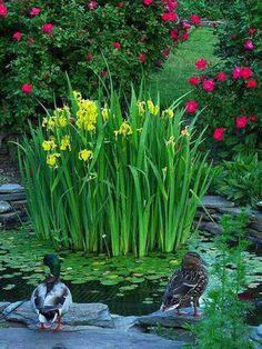 Yellow English Irises in a pond mine grow well in the ground....