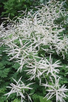 dwarf Aruncus (Goat's Beard) Misty Lace- shade, tall, filler--spectacular plant--I have some to give you