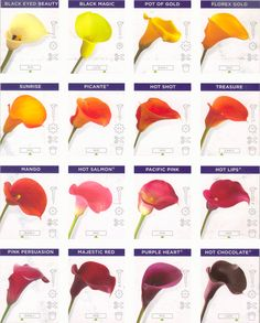 Calla Lily Colors