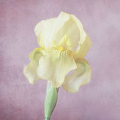 Yellow Iris Fine Art Photography Shabby Chic Pale Yellow Plum Lavender... ($28) ❤ liked on Polyvore featuring home, home decor, wall art, pink wall art, shabby chic home decor, yellow home accessories, green home decor and plum wall art