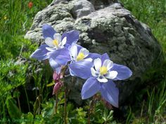 Colorado: Rocky Mountain Columbine