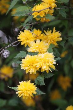 1000 images about kerria japonica 39 pleniflora 39 on pinterest shrubs plant identification and. Black Bedroom Furniture Sets. Home Design Ideas