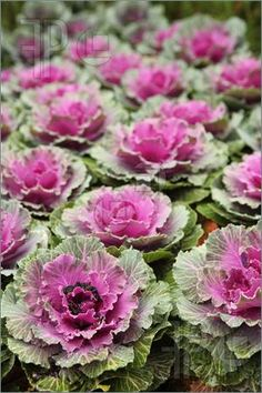 Find Purple Green Cabbage Growing Outdoors Garden stock images in HD and millions of other royalty-free stock photos, illustrations and vectors in the Shutterstock collection. Ornamental Cabbage, Amy Butler Fabric, Green Cabbage, Photo Editing, Royalty Free Stock Photos, Cabbages, Ornaments, Purple, Porches