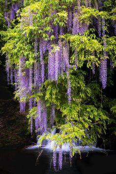 Amazing Flowers, Purple Flowers, Beautiful Flowers, Beautiful Landscapes, Beautiful Gardens, Jardin Luxuriant, Wisteria Tree, Dame Nature, Flowering Trees