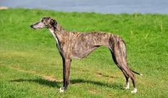 do you know what happening  galgo in spain..?
