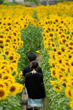 A tunnel of sunflowers.  Sayo town, Hiyogo, Japan.  Photography by Yoyoandbelle on Flickr