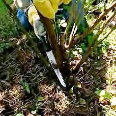 """In late winter to early spring, cut out all dead and diseased canes at the base using a pruning saw. Further cut out old canes, which look woody rather than green."""