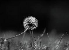 Olga Olay Photograph - Dandelion In Black And White by Olga Olay #OlgaOlayFineArtPhotography #ArtForHome #FineArtPrints #Bag #blackandwhite #flower #dandelion