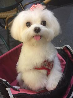 Maltese and Children: Is It a Good Combination - Champion Dogs Cute Puppies, Cute Dogs, Dogs And Puppies, Doggies, Cute Baby Animals, Animals And Pets, Maltese Haircut, Maltese Dogs, Teacup Maltese