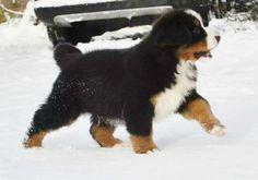 Very cute Berner puppy